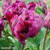 Tulipan Negrita 2
