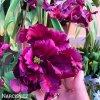 Tulipan Negrita 3