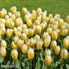 zlutobily tulipan triumph happy people 3