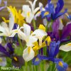 Iris mix hollandica 1