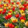 Tulipán Praestans mix 3