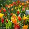 Tulipán Praestans mix 4