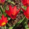 cerveny tulipan kaufmanniana scarlet baby 6