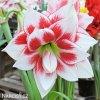 bíločervený hvězdník amaryllis elvas 2