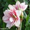 bíločervený hvězdník amaryllis elvas 4