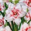 bíločervený hvězdník amaryllis elvas 5