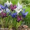 směs nízkých kosatců iris reticulata mix 2