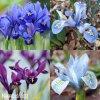 směs nízkých kosatců iris reticulata mix 3