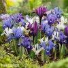 směs nízkých kosatců iris reticulata mix 4