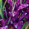 fialový kosatec pauline iris reticulata 2