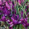 fialový kosatec pauline iris reticulata 3