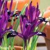 fialový kosatec pauline iris reticulata 4