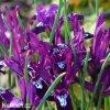 fialový kosatec pauline iris reticulata 5