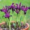 fialový kosatec pauline iris reticulata 6