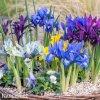 Iris mix reticulata 1