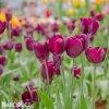 cerveny tulipan triumph ronaldo 7