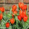 Tulipán Praestans Fusilier 4