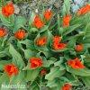 cerveny tulipan praestans fusilier 5