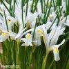 bílý kosatec white iris hollandica 3