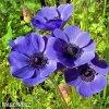 sasanka anemone mr fokker 4