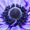 sasanka anemone mr fokker 5