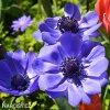 sasanka anemone mr fokker 7