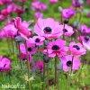 sasanka anemone sylphide 3