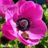 sasanka anemone sylphide 5