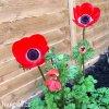 sasanka anemone hollandia 1