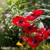 sasanka anemone hollandia 3