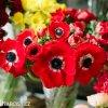 sasanka anemone hollandia 6