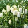 bílý řebčík fritillaria meleagris alba 2