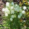 bílý řebčík fritillaria meleagris alba 4