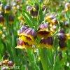 žlutočervený řebčík fritllaria michailovskyi 3