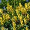 Modřenec Muscari golden fragrance 4