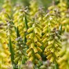 Modřenec Muscari golden fragrance 1