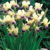 Iris nibelungen 01