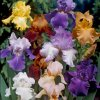 Iris Germanica Mix 01