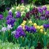 Iris pumila mix 02