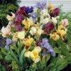 Iris pumila mix 04