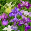 Iris Sibirica Mix 02