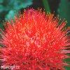 Scadoxus multiflorus 02