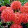 Scadoxus multiflorus 01