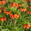 oranžový řebčík fritillaria aurora 2