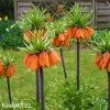 oranžový řebčík fritillaria aurora 5