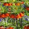 oranžový řebčík fritillaria aurora 6
