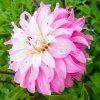 Jiřina Pink petticoat 01