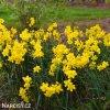 Narcis Baby moon 4