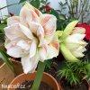 bíločervený hvězdník amaryllis nymph 3