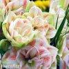 bíločervený hvězdník amaryllis nymph 5